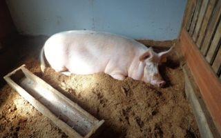 Как бактерии помогают животноводам в свинарнике