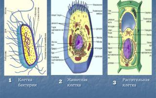 Что общего и какие различия между клетками растений, грибов, бактерий и животных?