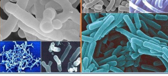 В чем польза бифидобактерий и их коллег – лактобактерий