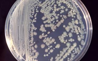 Опасность бактерий рода энтеробактер для человека