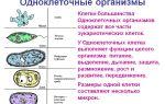 Бактерии и амебы: в чем разница?