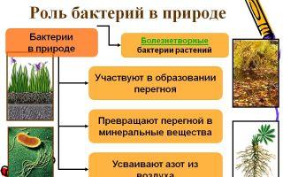 Описание возбудителя сибирской язвы: формы, тяжесть и опасность бактериальной инфекции