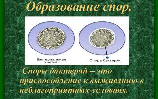 Эндоспоры как способ выживания бактерий