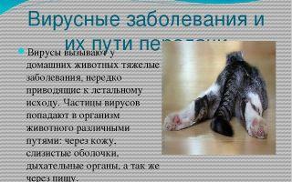 Симптомы и лечение вирусных инфекций у кошек и собак