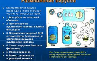 Как размножаются вирусы: особенности и этапы