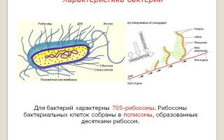 Секреты жизни в рибосомах бактерий