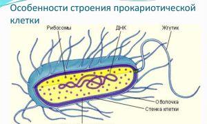 Имеют ли бактерии ядро, или особенности строения прокариотических клеток