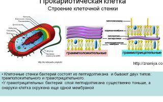 Строение клеточной стенки у разных видов бактерий