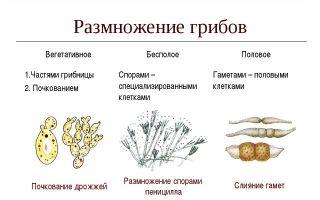 Какими способами могут размножаться бактерии и грибы