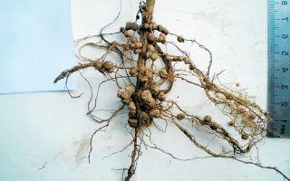 Уникальный подарок для земледельцев и феномен для ученых – азотфиксирующие клубеньковые бактерии