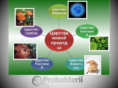 Представители царства бактерий – мельчайшие живые организмы