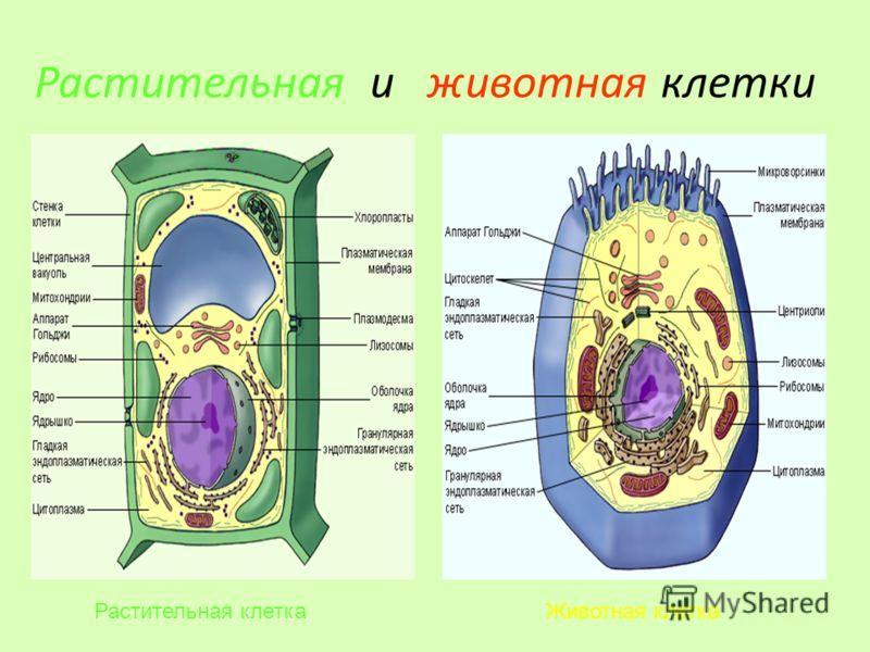 Каковы особенности строения и функционирования растительной клетки