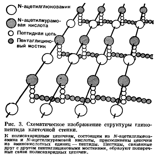 Структура бактериальной клетки рисунок
