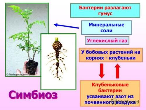 Что такое сапрофиты и паразиты